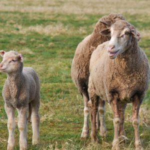 Lamb and dam
