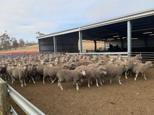 Sheep in a yard Lewisham Tasmania