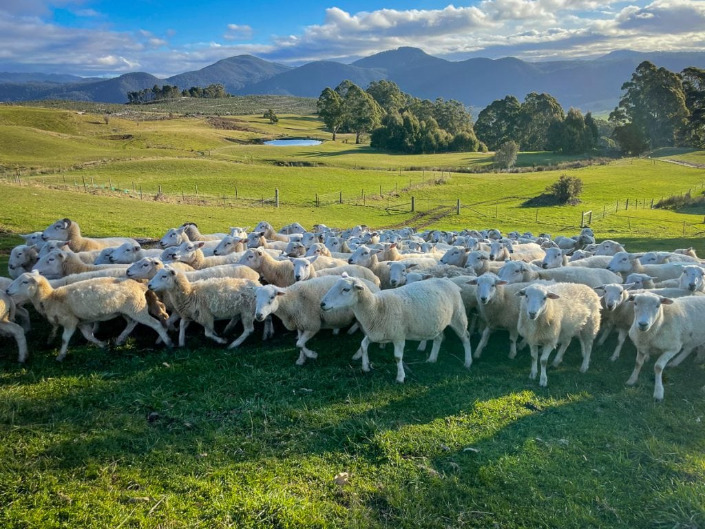 NZ sheep in a field. Pregnant Ewes whos lambs are about to recieve Numnuts®