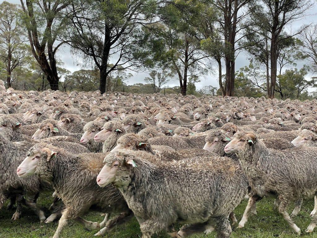 A flock of Merino Sheep in a field