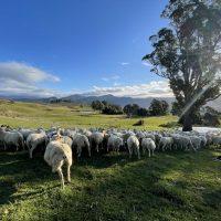 Prime Lambs New Zeland